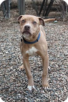 Pit Bull Terrier Mix Dog for adoption in Westminster, Colorado - Romeo