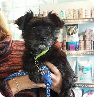 Schnauzer (Miniature)/Terrier (Unknown Type, Small) Mix Dog for adoption in Shallotte, North Carolina - Nan