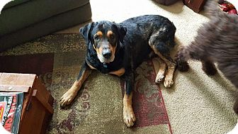 Rottweiler Mix Dog for adoption in New Baltimore, Michigan - Houdini