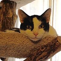 Turkish Van Cat for adoption in St. Louis, Missouri - InkBlot