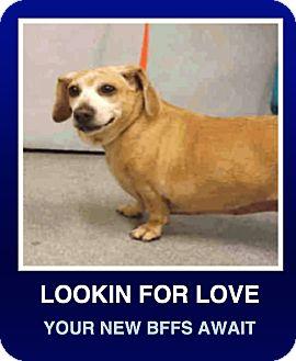 Dachshund Dog for adoption in Morrisville, Pennsylvania - Betty Davis