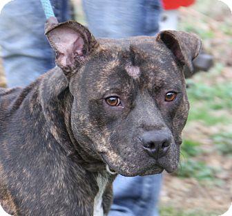 Pit Bull Terrier Mix Dog for adoption in Marietta, Ohio - Tank (Neutered)