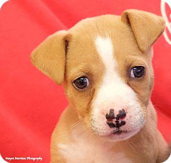 Labrador Retriever/Terrier (Unknown Type, Medium) Mix Puppy for adoption in Huntsville, Alabama - Macaroni