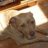American Pit Bull Terrier Mix Dog for adoption in Verona, Pennsylvania - Rosa