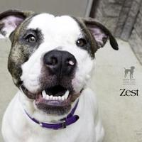 Adopt A Pet :: Zest - South Bend, IN