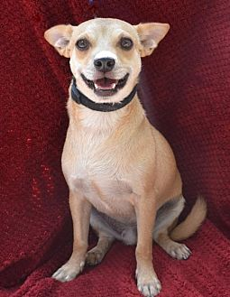 Chihuahua/Terrier (Unknown Type, Medium) Mix Dog for adoption in Junction, Texas - Romper
