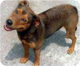 German Shepherd Dog/Husky Mix Dog for adoption in Marina del Rey, California - Gracie