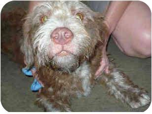 Tibetan Terrier Mix Dog for adoption in San Clemente, California - KAYA