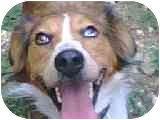 Australian Shepherd/Border Collie Mix Dog for adoption in Only, Tennessee - Hilde