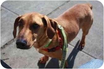 Basset Hound/Labrador Retriever Mix Dog for adoption in Portland, Oregon - Dreyfus
