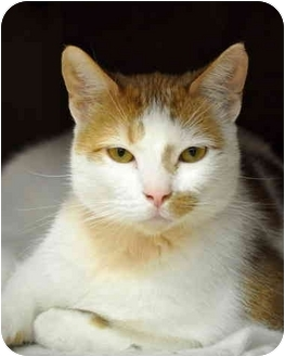 Domestic Shorthair Cat for adoption in Carencro, Louisiana - Pirate