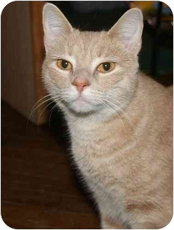 Domestic Shorthair Cat for adoption in Jenkintown, Pennsylvania - Lyra