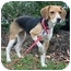 Photo 2 - Beagle Dog for adoption in Waldorf, Maryland - Bebe