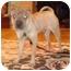 Photo 1 - Shar Pei Puppy for adoption in Houston, Texas - Josh