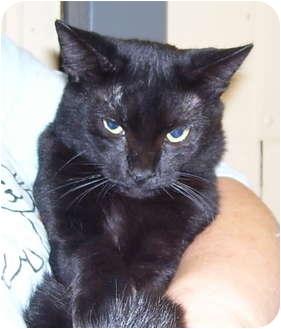 Domestic Shorthair Cat for adoption in Somerset, Pennsylvania - Midnight