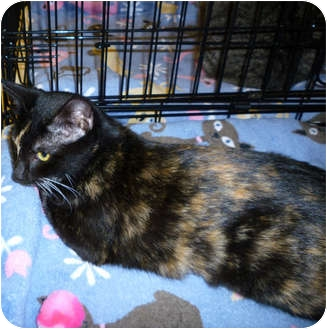 Domestic Shorthair Cat for adoption in Tampa, Florida - Katie