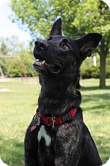 Dutch Shepherd/German Shepherd Dog Mix Dog for adoption in Rochester/Buffalo, New York - Marmaduke