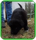 Labrador Retriever/Bearded Collie Mix Puppy for adoption in Windham, New Hampshire - Lynxie