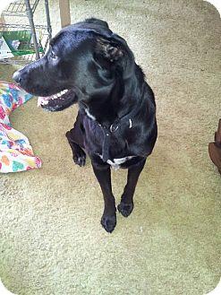 Labrador Retriever Mix Puppy for adoption in Puyallup, Washington - Shiloh