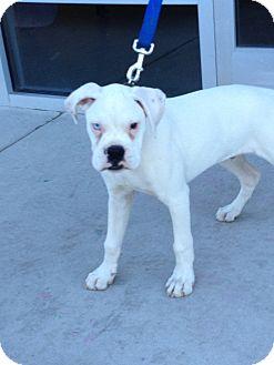 Boxer Puppy for adoption in Reno, Nevada - Biggie