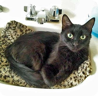 Domestic Shorthair Cat for adoption in Mountain Center, California - Voo Doo