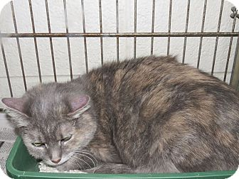 Domestic Shorthair Cat for adoption in Henderson, North Carolina - Pooky
