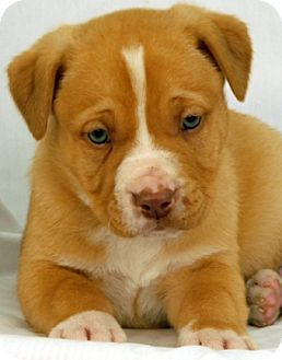 Pit Bull Terrier Mix Puppy for adoption in Newland, North Carolina - Atlas
