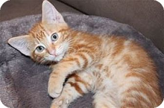 Domestic Shorthair Kitten for adoption in Rocklin, California - Brisbane