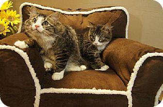 Domestic Shorthair Cat for adoption in Detroit Lakes, Minnesota - Skip