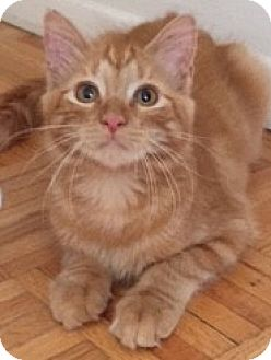 Domestic Mediumhair Kitten for adoption in Long Beach, New York - Quincy