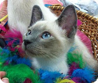 Siamese Kitten for adoption in Wilmore, Kentucky - Bluebell