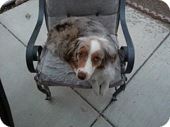 Australian Shepherd Dog for adoption in Las Vegas, Nevada - Luna Lovegood