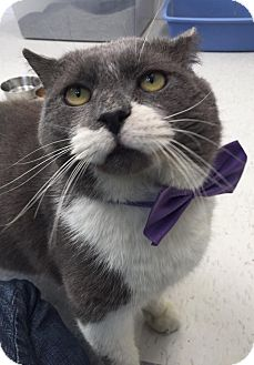 Domestic Shorthair Cat for adoption in Webster, Massachusetts - Hulk