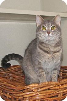 Domestic Shorthair Cat for adoption in Ruidoso, New Mexico - Atara