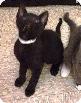 Bombay Kitten for adoption in Lake Elsinore, California - Jade