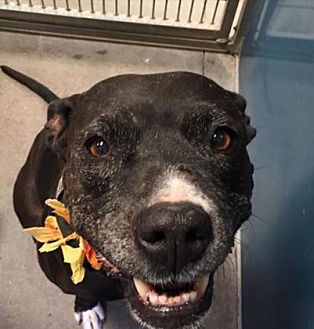 American Pit Bull Terrier Mix Dog for adoption in Scottsdale, Arizona - Gracie May