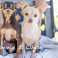 Miniature Pinscher/Chihuahua Mix Dog for adoption in Inland Empire, California - BONNIE