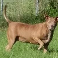 American Bulldog Mix Dog for adoption in Glenwood, Georgia - Shirley