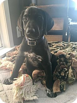 Labrador Retriever/Pointer Mix Dog for adoption in Houston, Texas - Gabanna