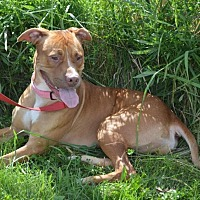 Rhodesian Ridgeback/Terrier (Unknown Type, Medium) Mix Dog for adoption in South Haven, Michigan - Lucille - in foster