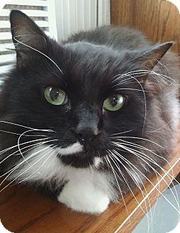 Domestic Shorthair Cat for adoption in Witter, Arkansas - Star