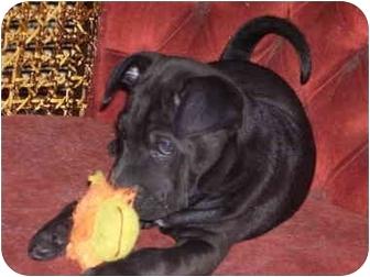 English Bulldog/Chow Chow Mix Puppy for adoption in Millerton, Pennsylvania - Tasha