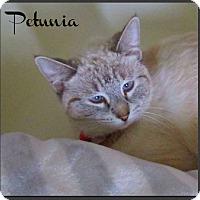 Adopt A Pet :: Petunia - Gilbert, AZ