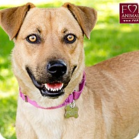 Belgian Malinois/Shiba Inu Mix Dog for adoption in Marina del Rey, California - Rebecca