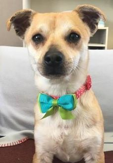 Chihuahua/Dachshund Mix Dog for adoption in Visalia, California - Binks