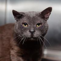 Adopt A Pet :: Pete - Mission Hills, CA