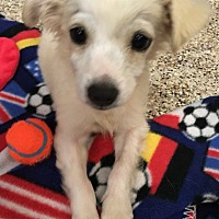 Adopt A Pet :: Cashmere - Thousand Oaks, CA