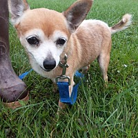 Chihuahua Mix Dog for adoption in Rockville, Maryland - Chase