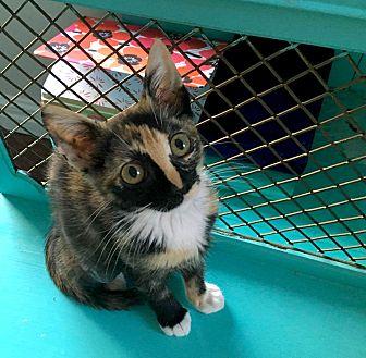 American Shorthair Kitten for adoption in Los Angeles, California - Jade