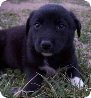 Spaniel (Unknown Type)/Border Collie Mix Puppy for adoption in Nashville, Tennessee - Noel- Adopted